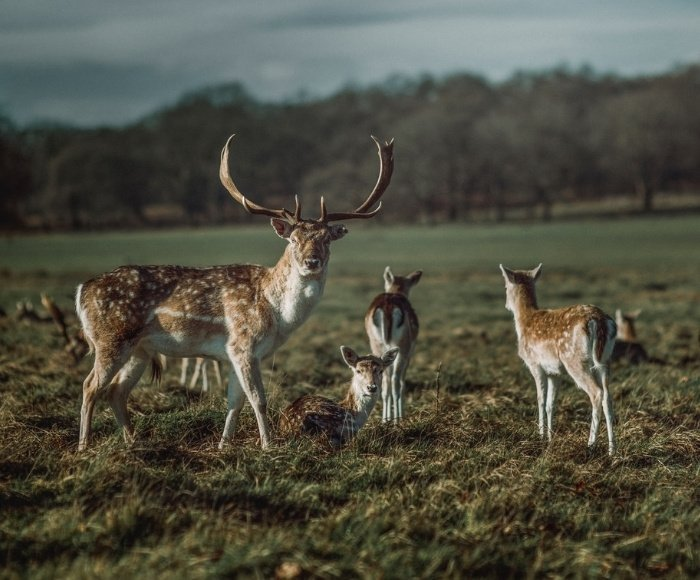 It's not unusual to see deer in the biggest London Park, Richmond Park